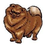 Tori the Pomeranian