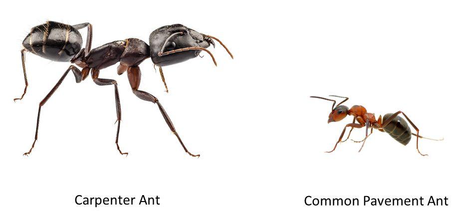 Carpenter Ants Vs Black Ants - Aumondeduvin.com