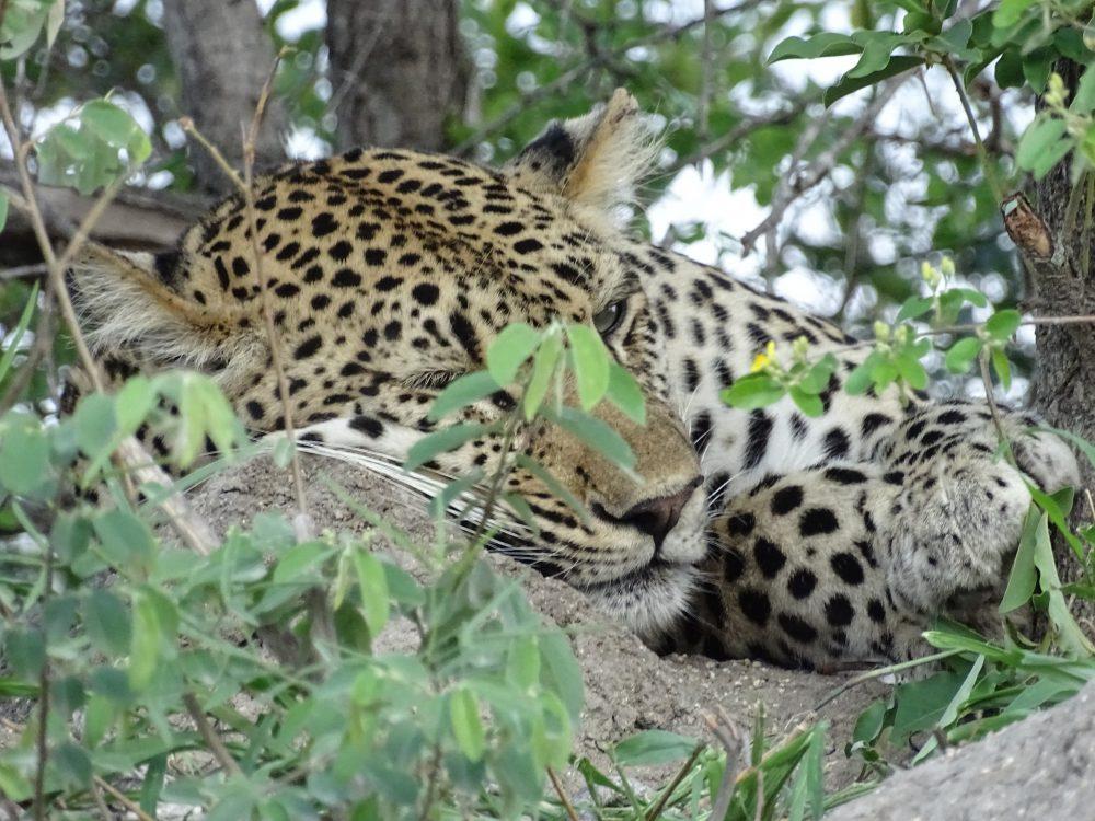 Ulusba Safari: Leopard schlafend