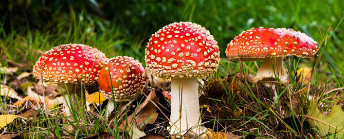 Red-capped toadstools in grass