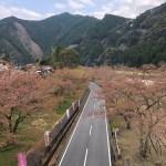 下北山村桜祭り