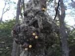 Pequeños hongos creciendo en Nothofagus antartica