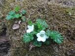 Pequeñas flores creciendo entre brófitos (musgos)