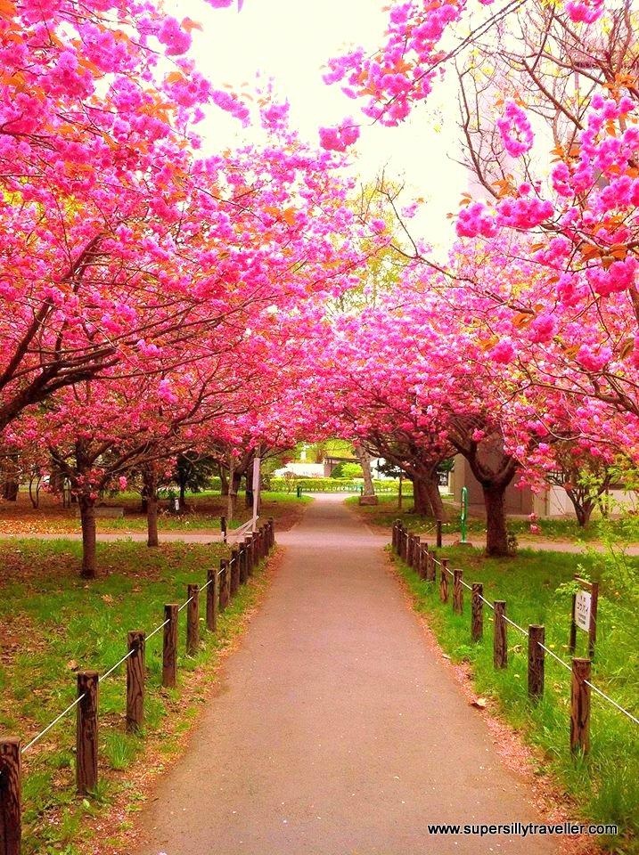 Cherry Blossoms Hokkaido University