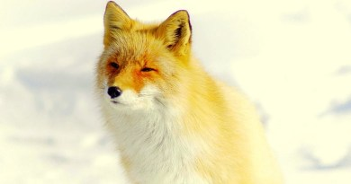 Japanese Red Fox