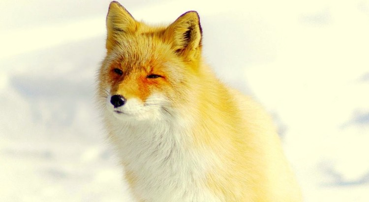 Japanese Red Fox