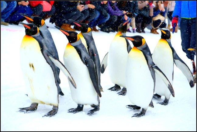 Penguin Parade Asahiyama Zoo