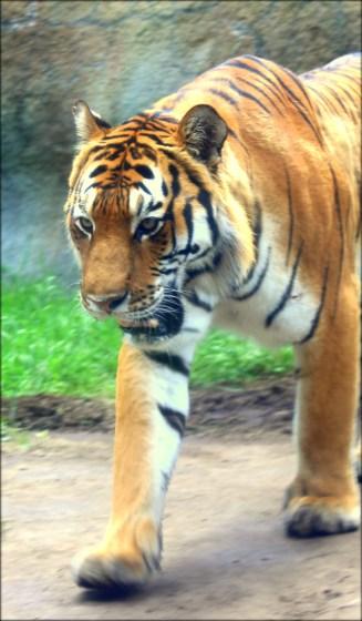 Tiger Asahiyama