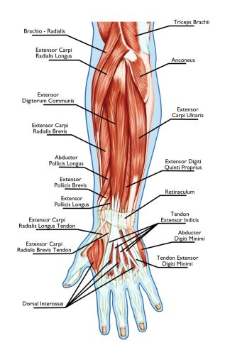 Extensor Carpi Radialis Brevis Muscle. Tennis Elbow Pain. Sports Injury. Rehabilitation and Prevention. Super Soldier Project.