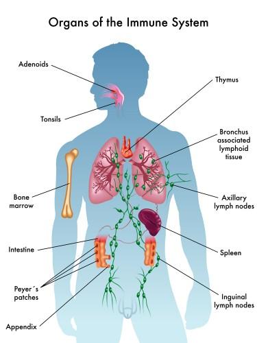 Immune System. Immune system facts. Covid-19. Coronavirus. Boosting immune system.