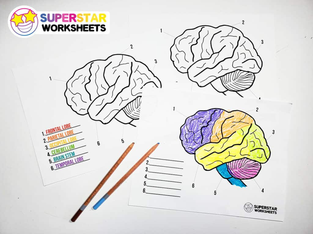 Human Brain Worksheets
