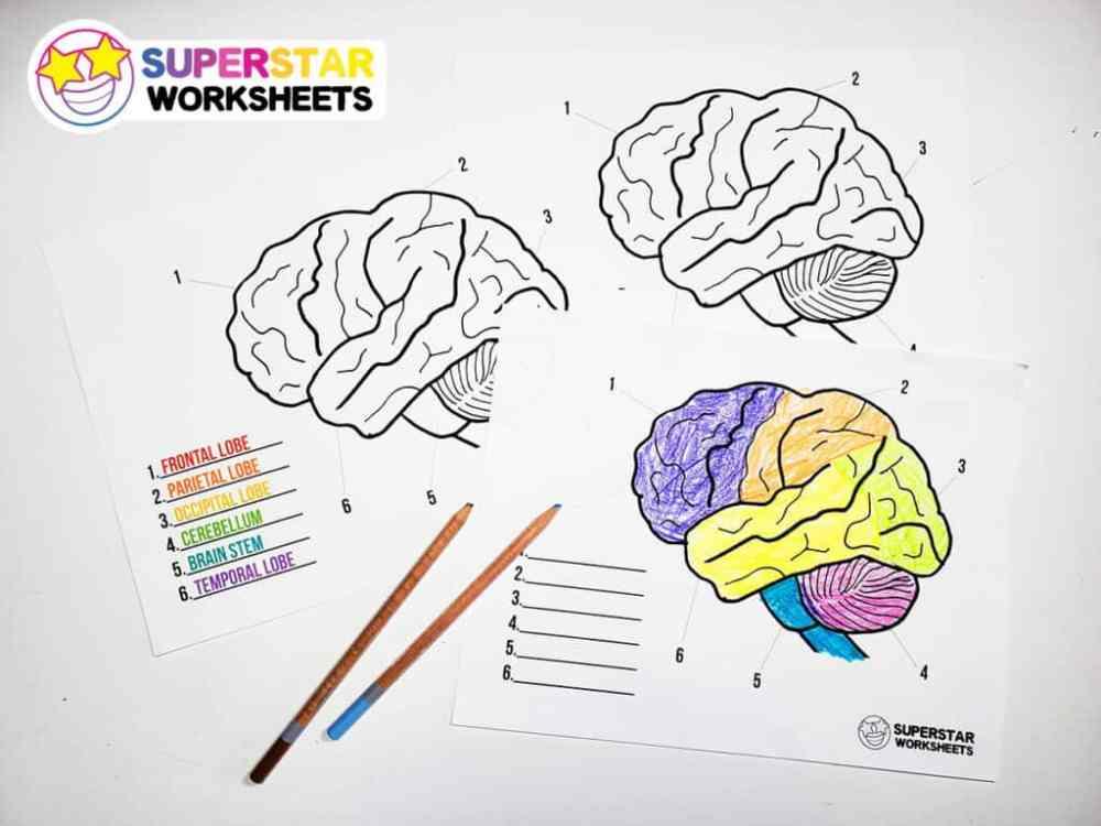 medium resolution of Human Brain Worksheets - Superstar Worksheets