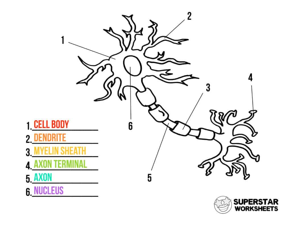 Neuron Cell Worksheets
