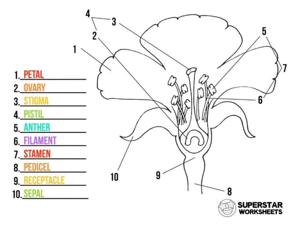 medium resolution of Parts of a Flower Worksheets - Superstar Worksheets