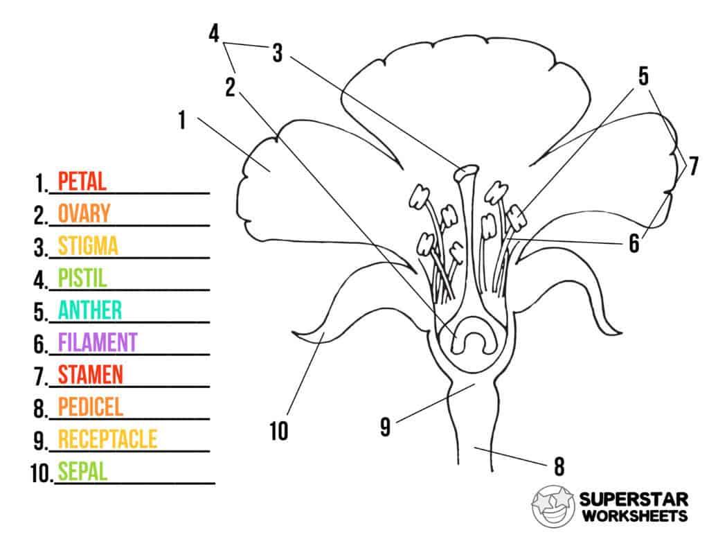 hight resolution of Parts of a Flower Worksheets - Superstar Worksheets