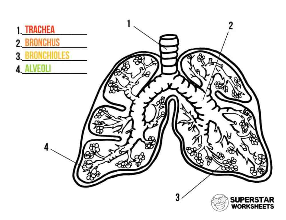 medium resolution of Human Lungs Worksheets - Superstar Worksheets