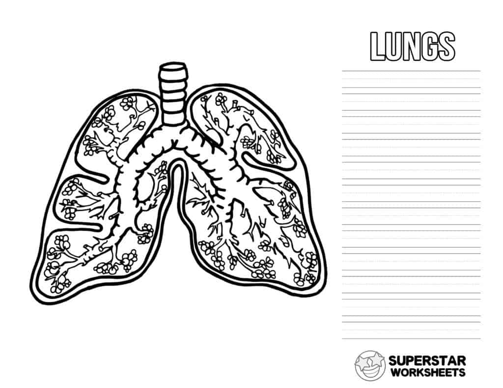 hight resolution of Human Lungs Worksheets - Superstar Worksheets