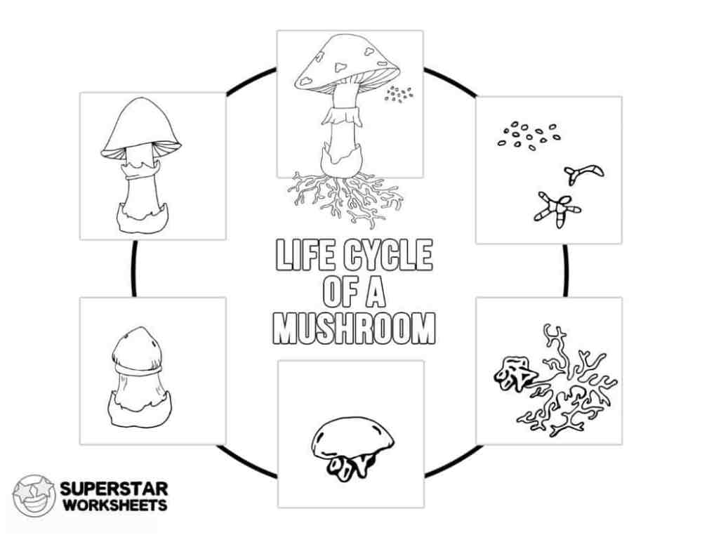 medium resolution of Mushroom Life Cycle Worksheets - Superstar Worksheets