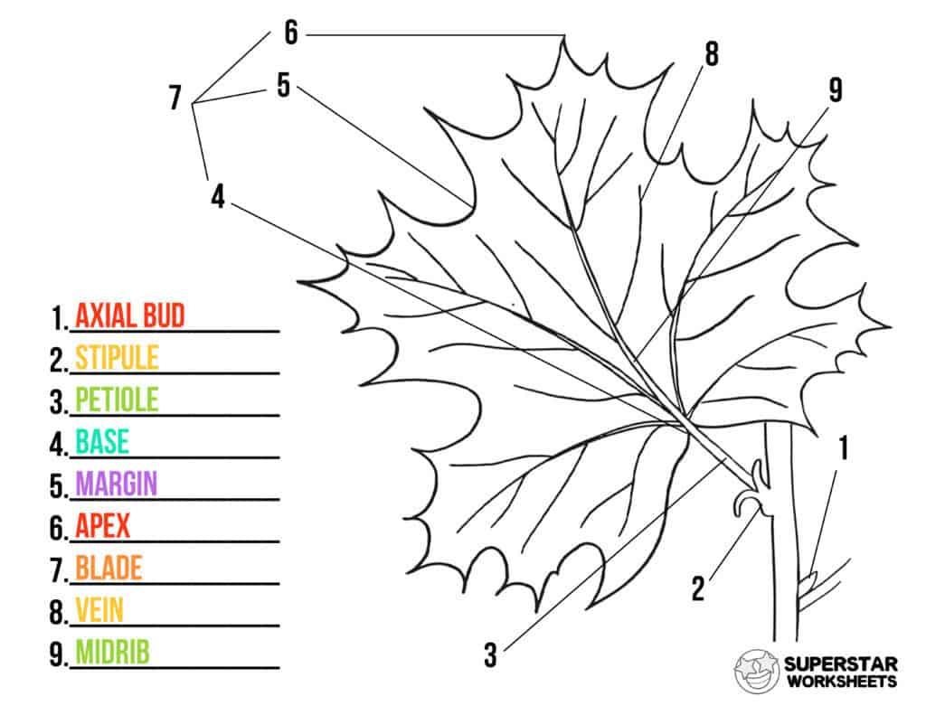 hight resolution of Parts of a Leaf Worksheet - Superstar Worksheets