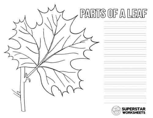 small resolution of Parts of a Leaf Worksheet - Superstar Worksheets