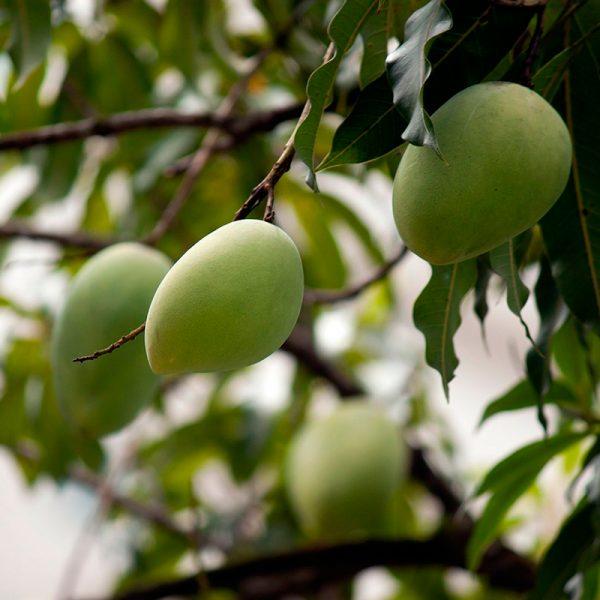 Mangos (Supertomate - Tienda online)