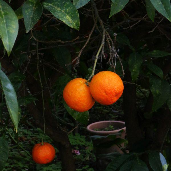 Naranjas de zumo (Supertomate - Tienda online)