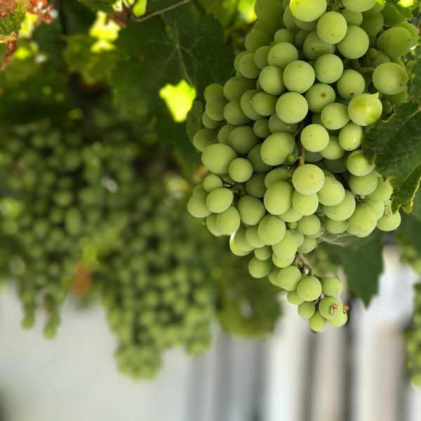 Uvas blancas (Supertomate - Tienda online)