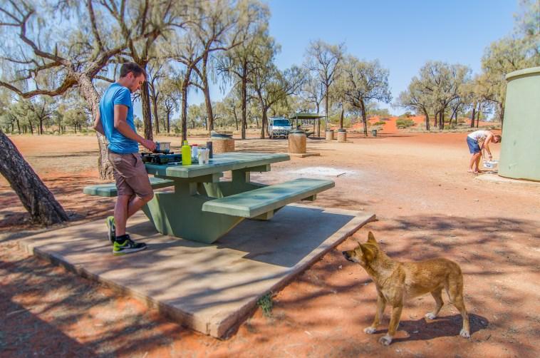 animaux d'australie dingo