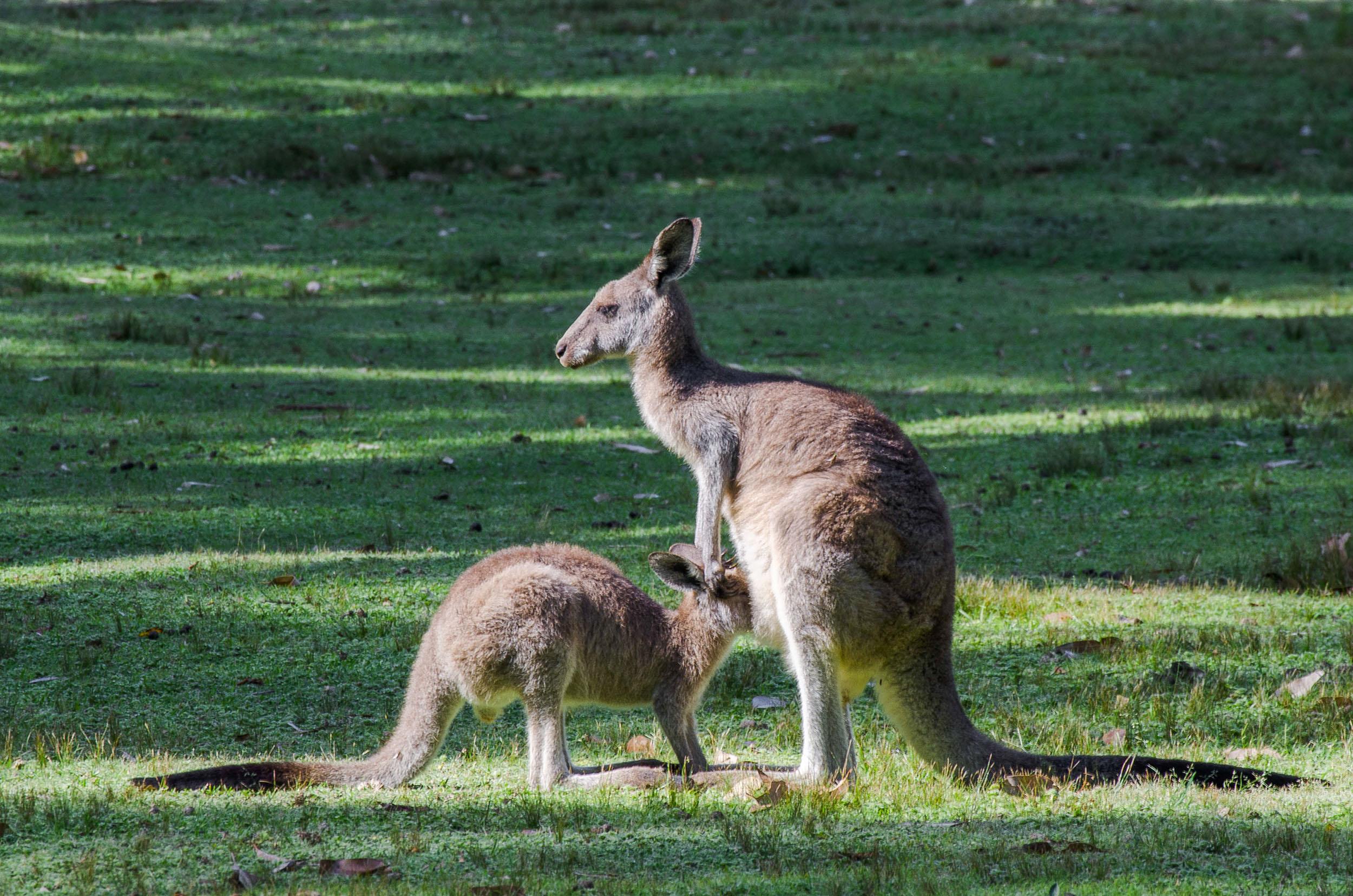 pebbly beach kangourous road trip sydney-melbourne