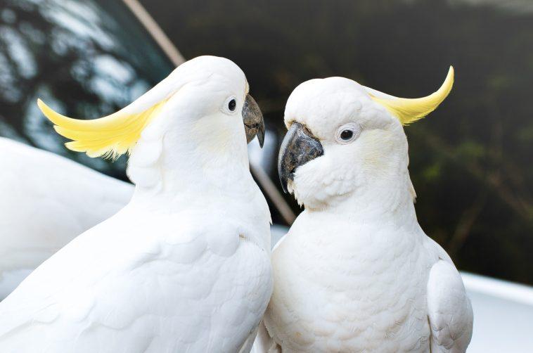 animaux d'australies perroquets cacatoès