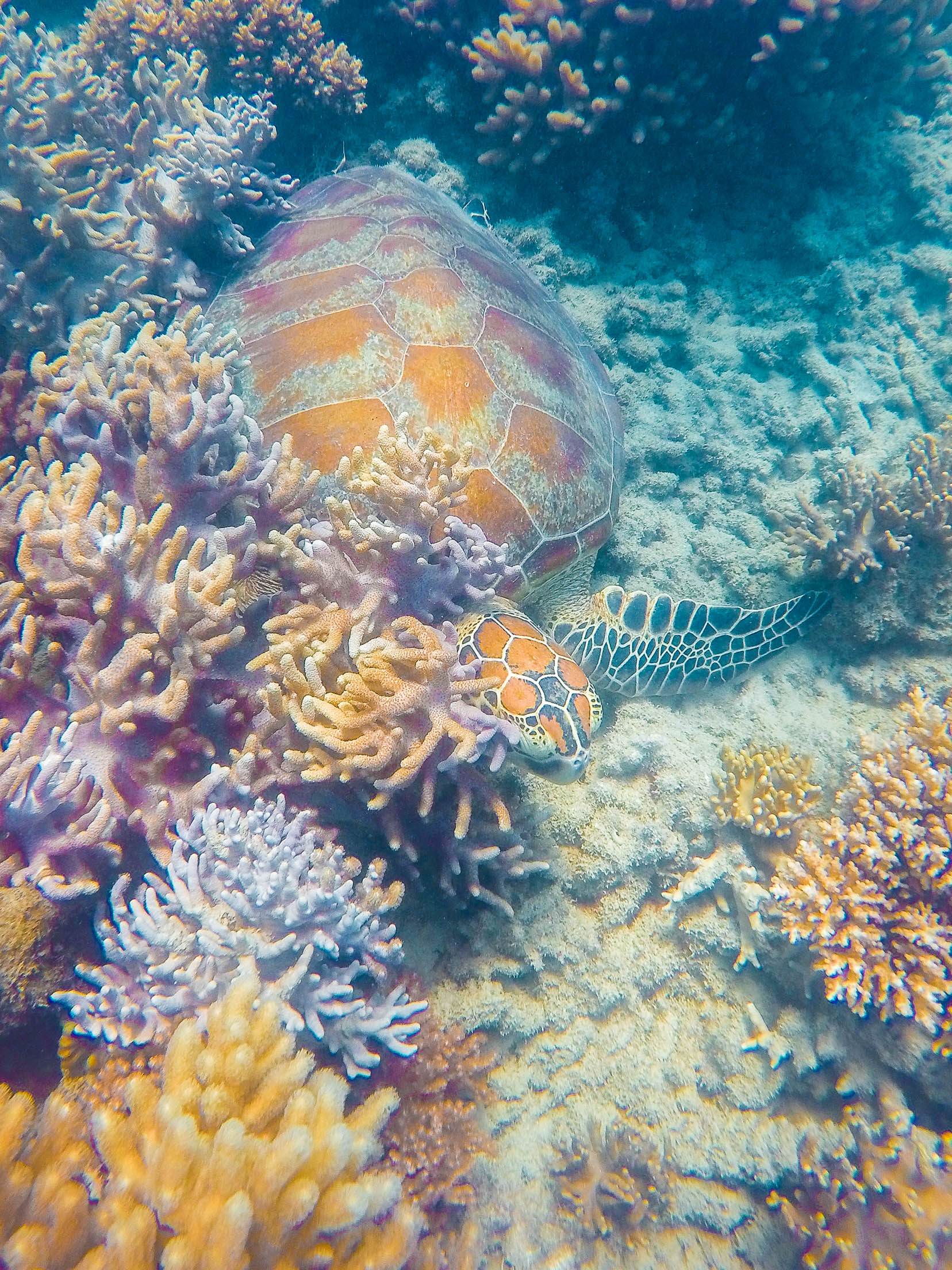 tortue îles whitsunday
