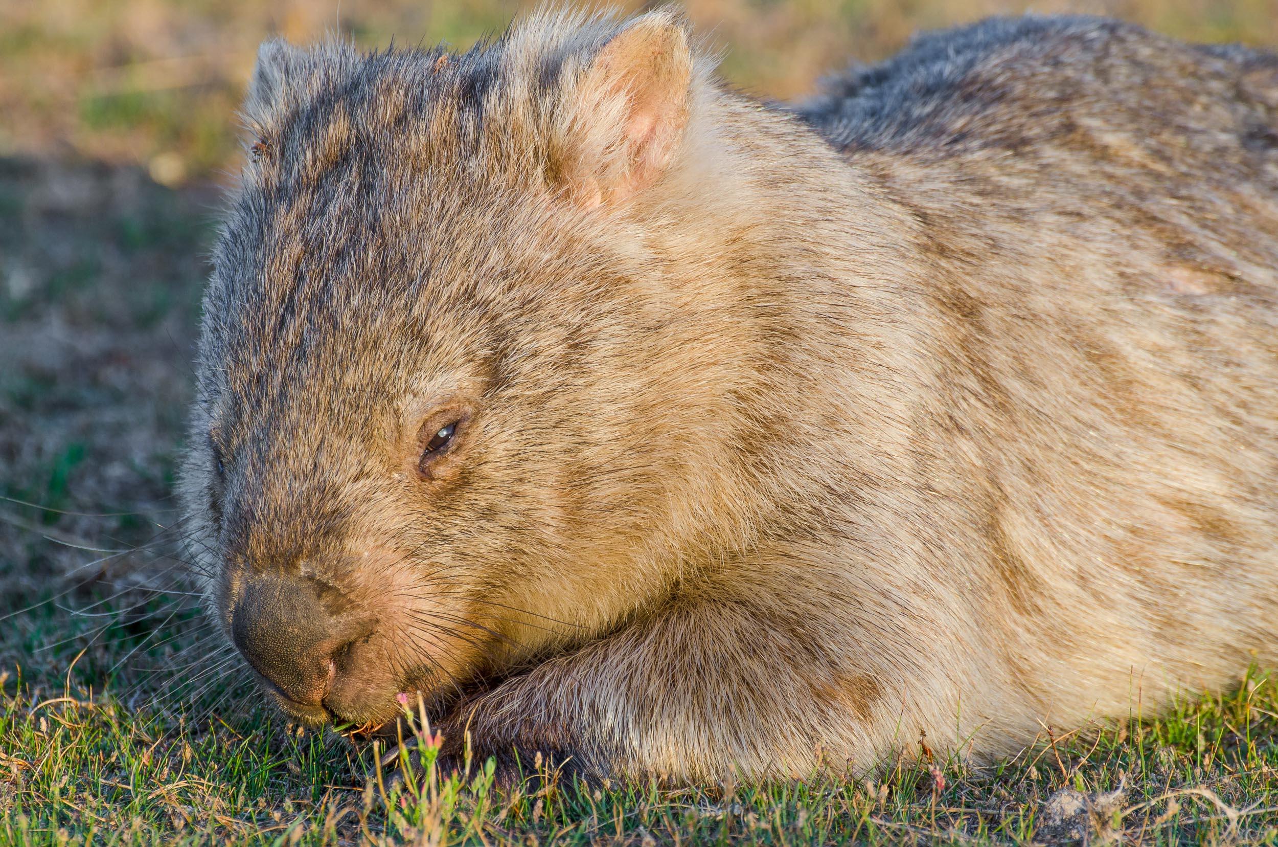 wombat wilsons promontory road trip sydney-melbourne