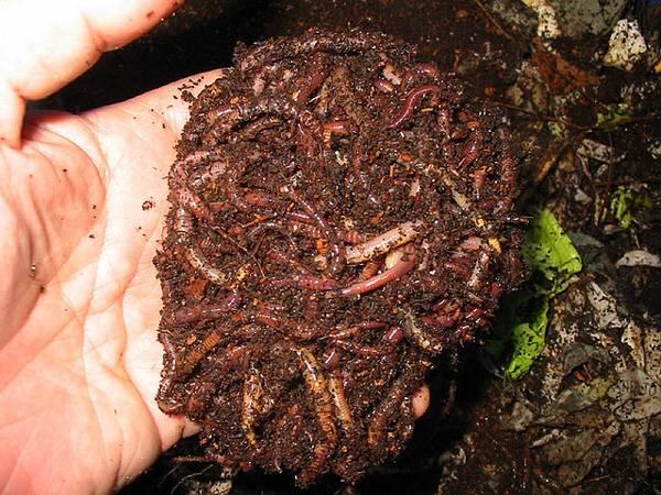С чего начать разведение червей
