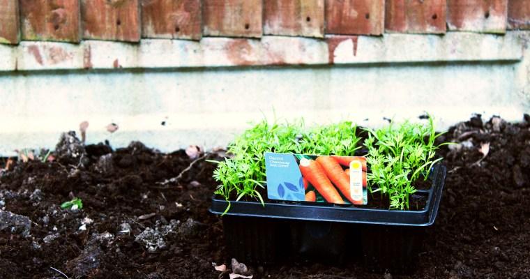Our kitchen garden – preparing for spring in year 1