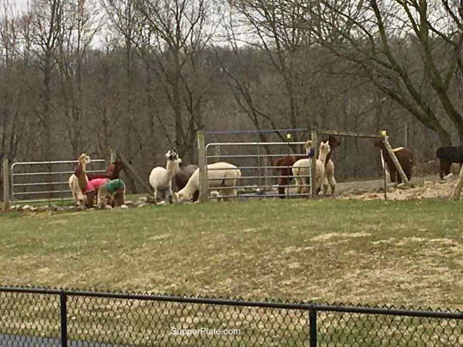 Alpcas in the field