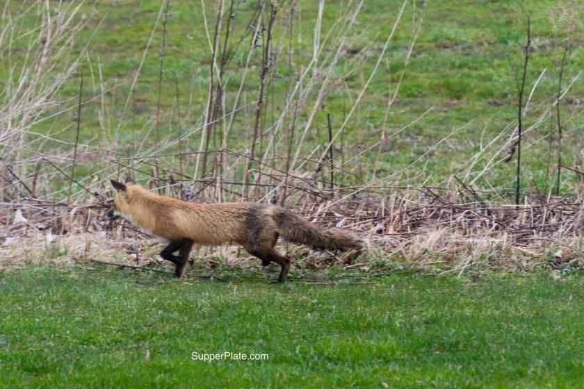 Red fox stalking