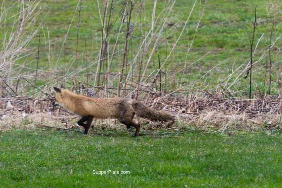 Red fox stalking