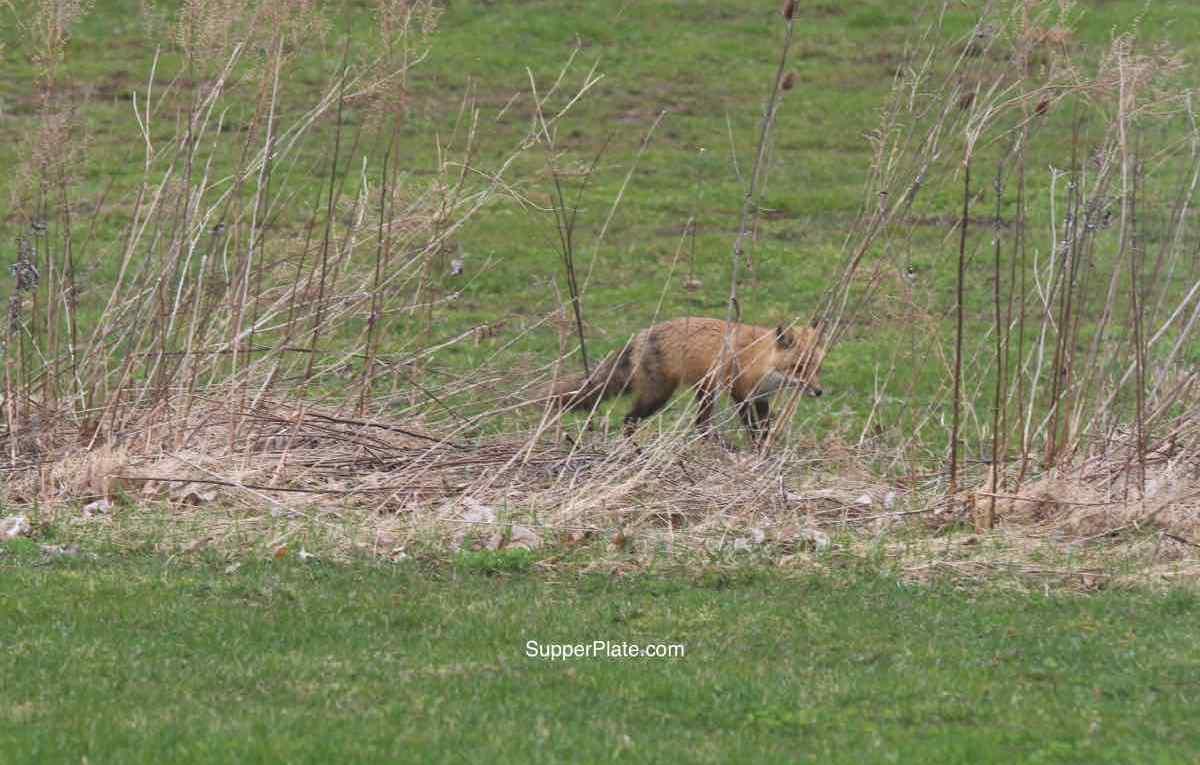 Red fox behind brush
