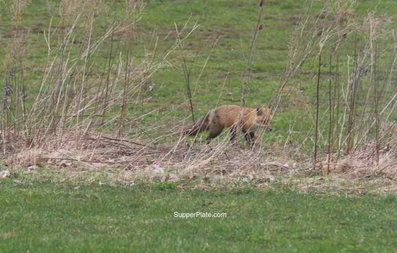 Red fox behind brush