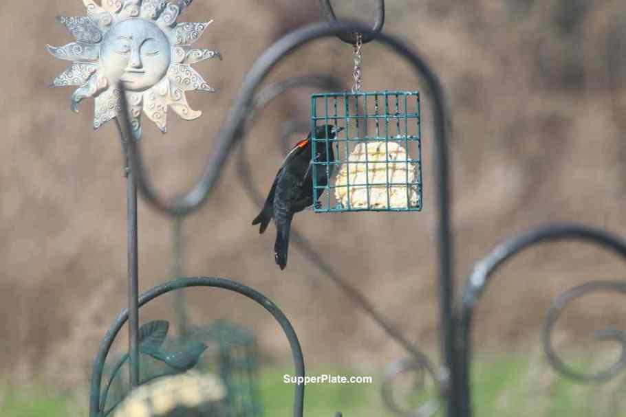 Black bird on the feeder