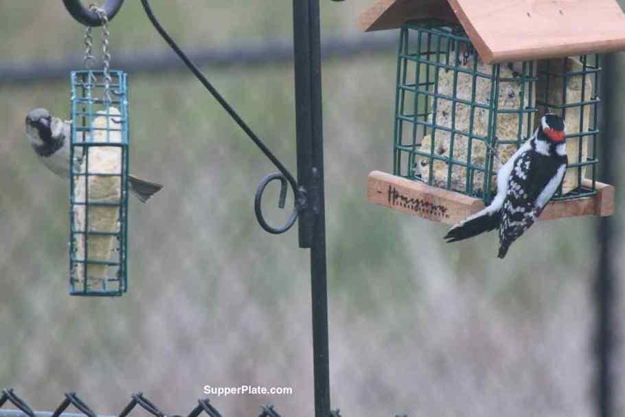 Woodpecker on the bird feeder