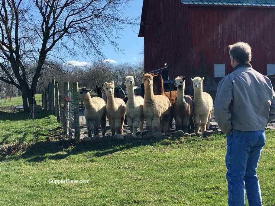 Man looking at alpacas