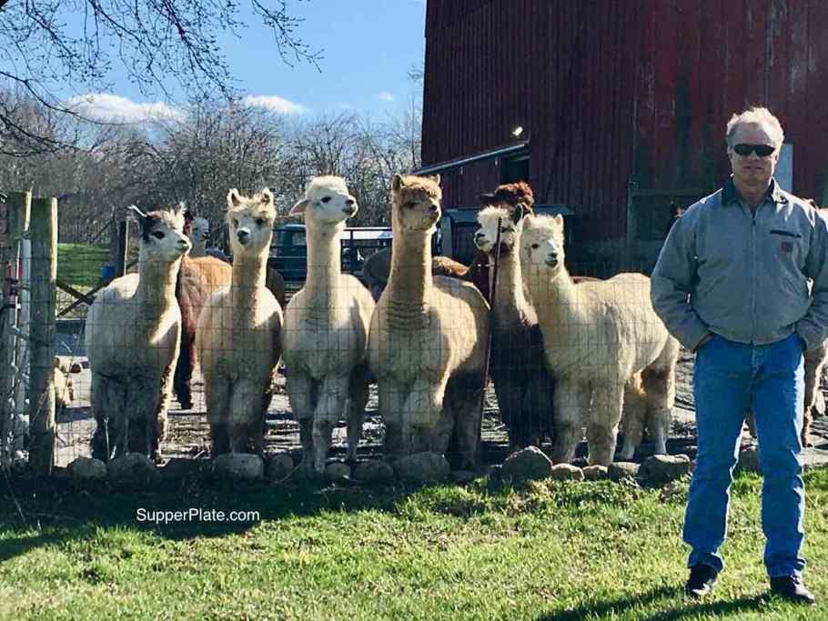 Man in front of alpacas