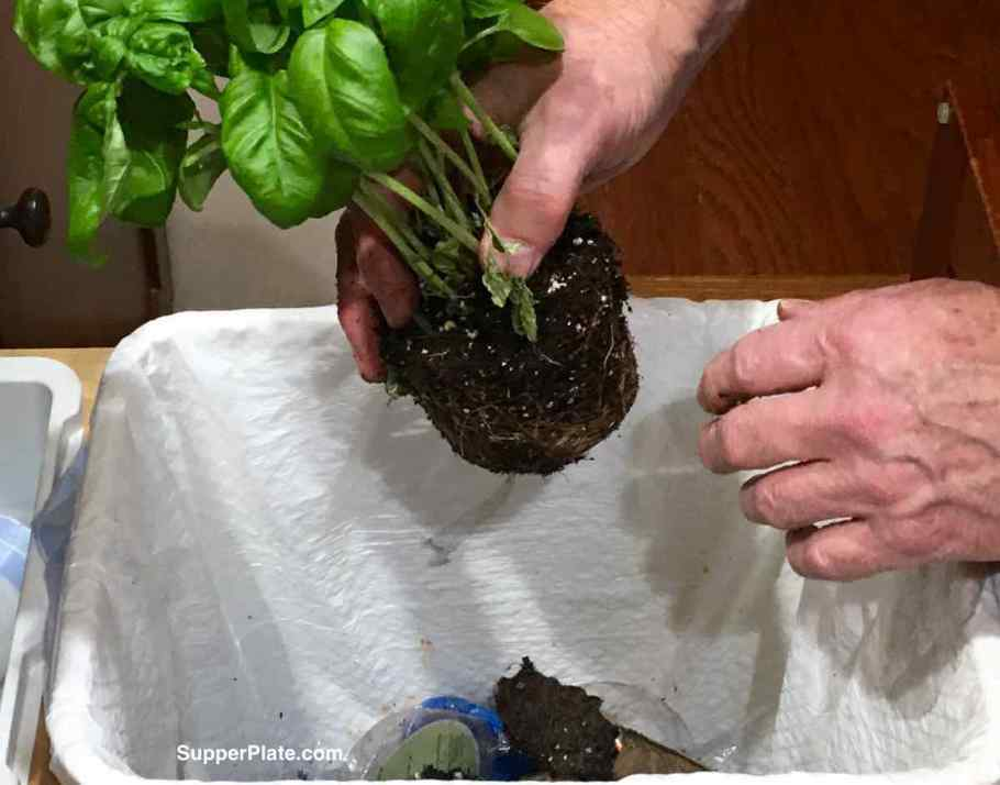 Removing loose soil from the second plant