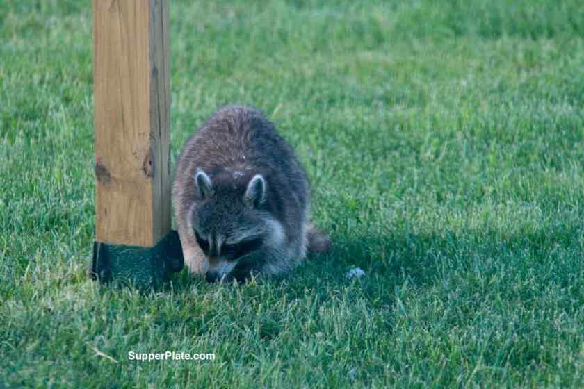 Raccoon in the yard