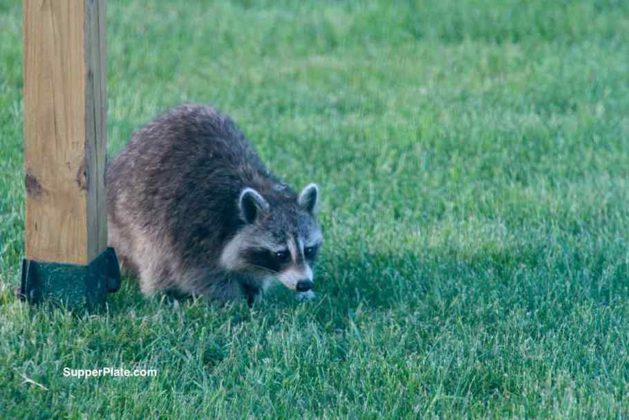 Raccoon looking at the ground