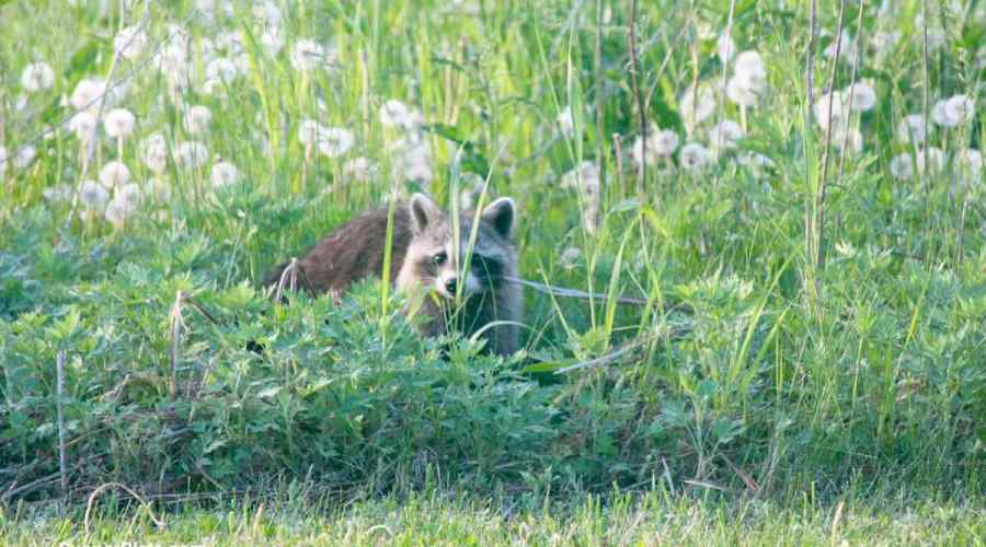 Raccoon in the tall grass