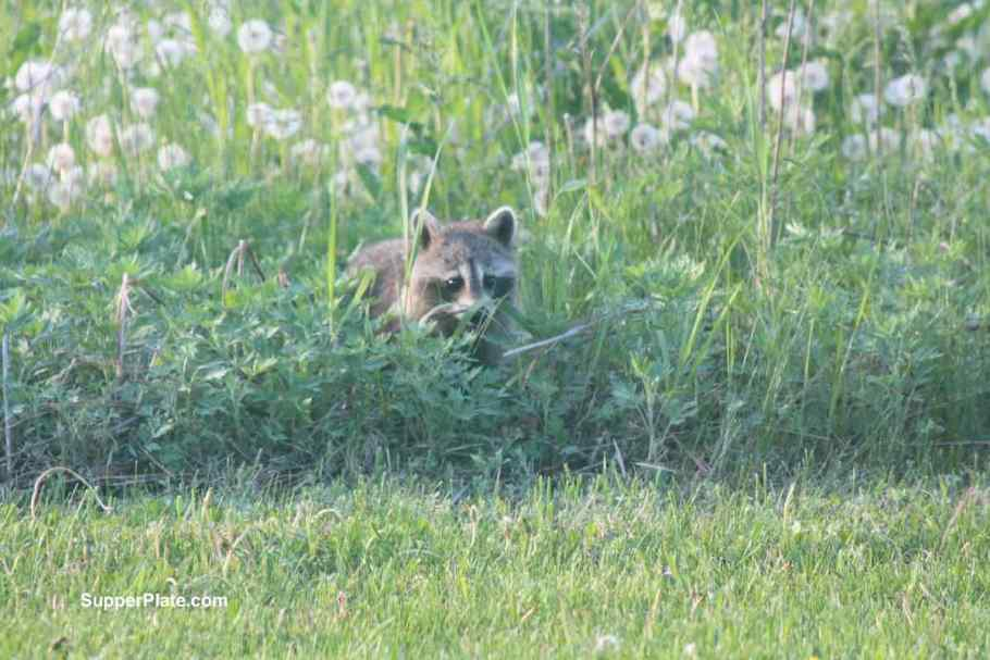 Raccoon in the tall grass