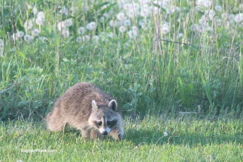 Raccoon leaving the tall grass