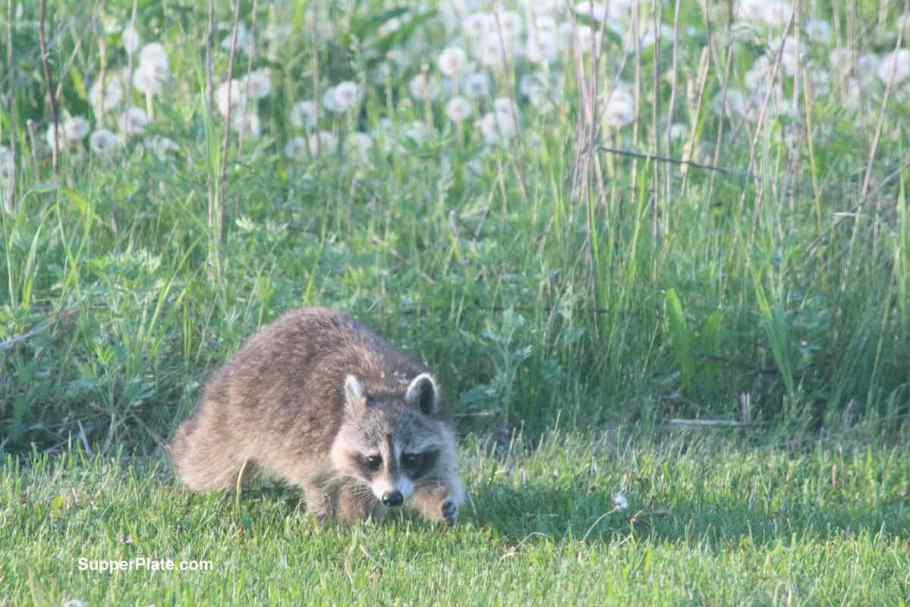 Raccoon leaving the tall grass